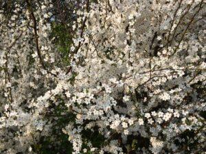 blomstrende mirabel